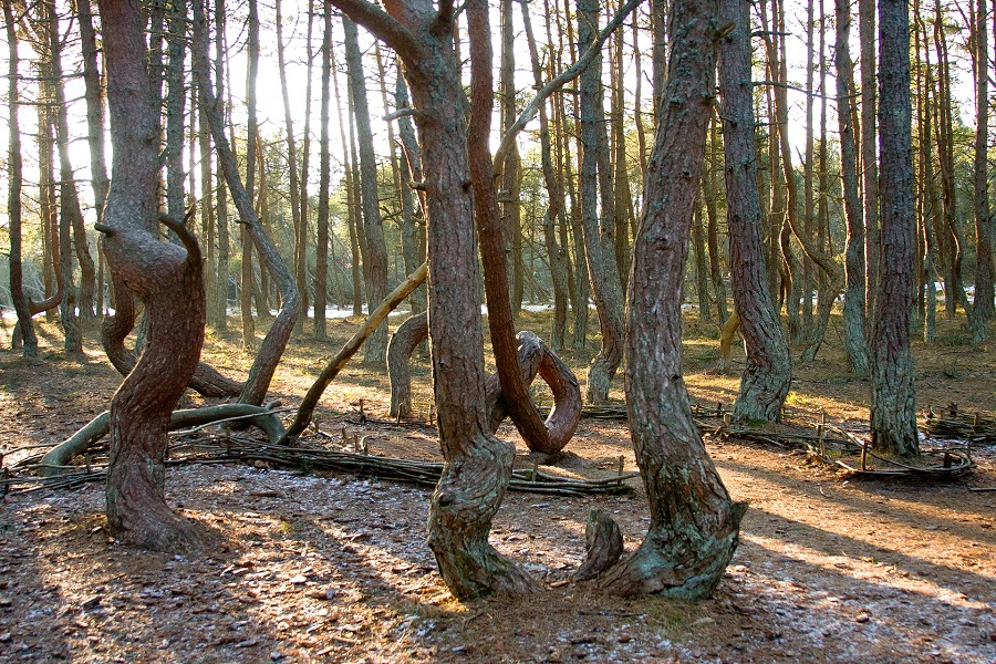 Litva Kurska kosa, tancici les